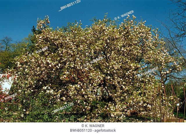 saucer magnolia (Magnolia x soulangiana, Magnolia soulangiana, Magnolia x soulangeana, Magnolia soulangeana), blooming tree