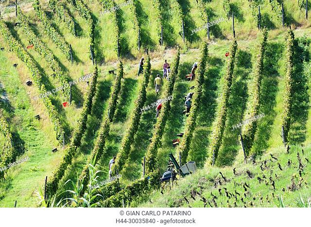 Italy, panorama of vineyards of Piedmont Langhe-Roero and Monferrato on the World Heritage List UNESCO the harvest in Monferrato Italy, Piedmont, Vineyards