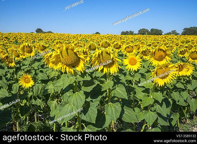 Sunflowers field. Burgos, Spain