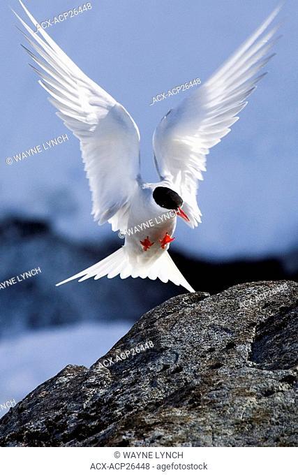 Antarctic tern Sterna vittata landing near its nest site, Half Moon Island, Antarctic Peninsula