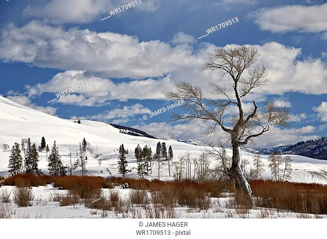 Bare cottonwood tree in the snow, Yellowstone National Park, UNESCO World Heritage Site, Wyoming, United States of America, North America
