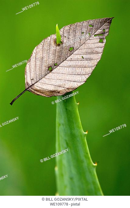 Leaf pierced by spiny-edged plant - Sachatamia Rainforest Reserve - Mindo, Ecuador