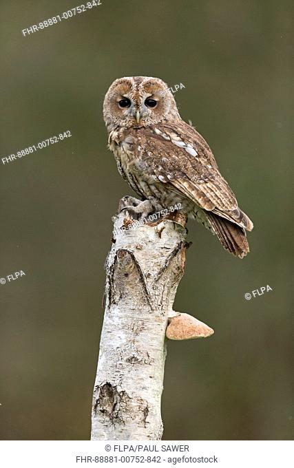 Tawny Owl (Strix aluco) adult, perched on Silver Birch (Betula pendula) trunk with Birch Polypore (Piptoporus betulinus), Suffolk, England, October