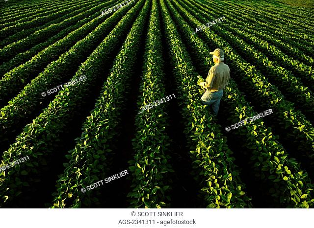 Agriculture - A farmer examines his healthy mid growth soybean field in midsummer while holding a soybean plant / Central Iowa, USA