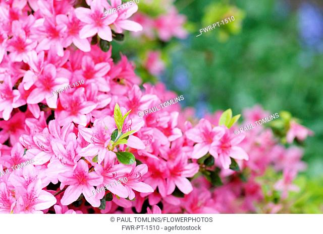 Azalea, Rhododendron 'Pekoe', Multiple pink flowers on a bush with foliage, creating a pattern