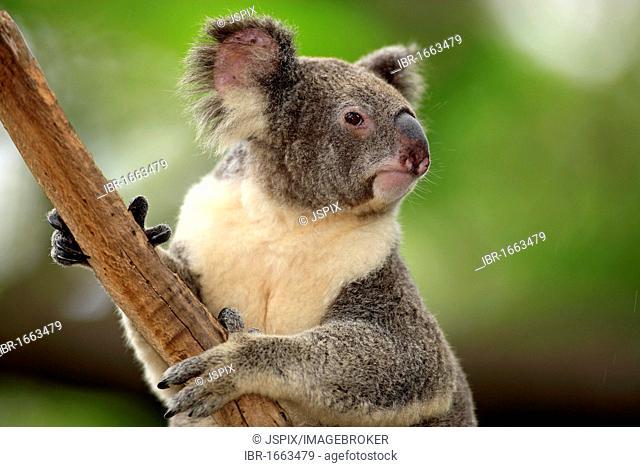 Koala (Phascolarctos cinereus), adult, tree, Australia