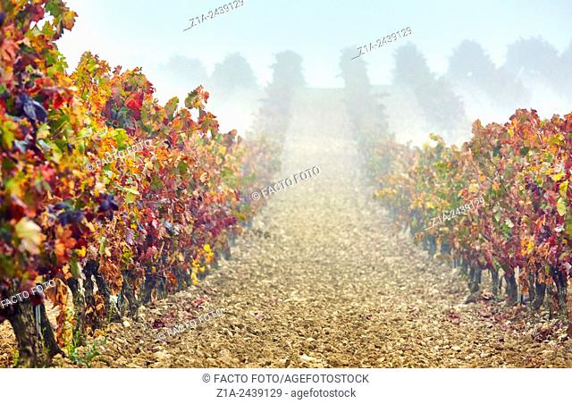 Rows of vines in a vineyard. Rioja alavesa wine route. Alava. Basque country. Spain