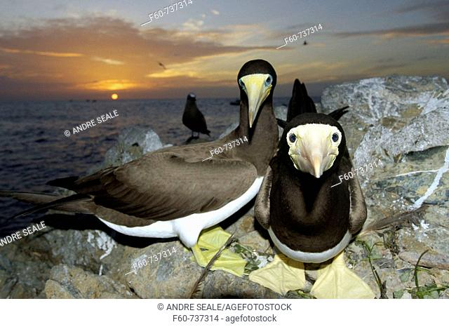 Brown boobies, Sula leucogaster, at sunset, St  Peter and St  Paul's rocks, Brazil, Atlantic Ocean