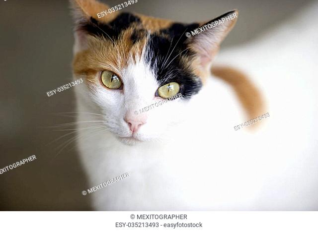 This Calico cat with green eyes is curiously looking at you