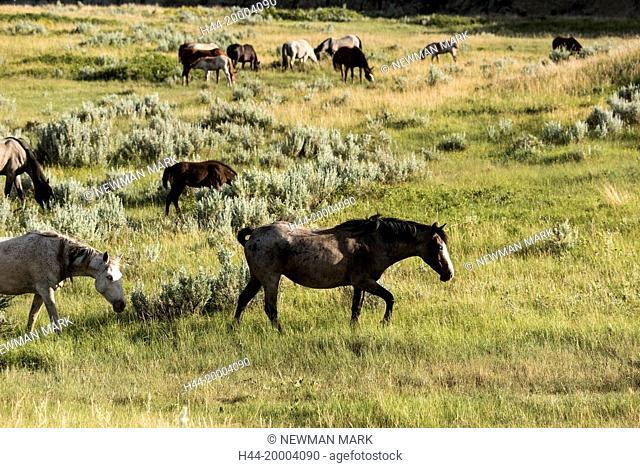 Wild Horses, Theodore Roosevelt National Park, North Dakota