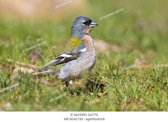 Common Chaffinch (Fringilla coelebs africana), side view of an adult male standing on the ground in Morocco