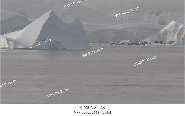Humpback whales (Megaptera novaeangliae), iceberg