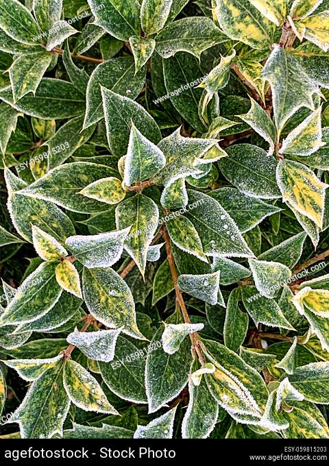 green plants are covered with white frost in the early morning