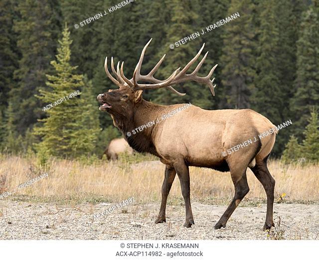 Bugling Bull (Male) elk, or wapiti (Cervus canadensis), Jasper National Park, Alberta, Canada, along Athabasca River