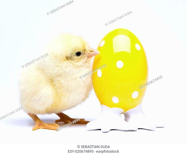 Cute little chick