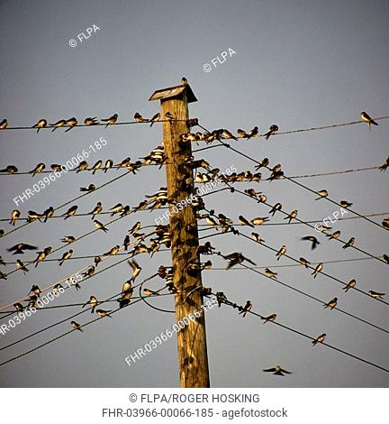 Swallow Hirundo rustica Close-up / group with Martins on telephone wires