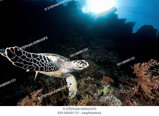 ocean, coral and hawksbill turtle
