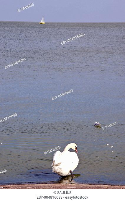 Swan sits above the water and gull swim near