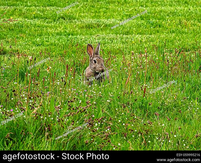 European rabbit, Common rabbit, Bunny, Oryctolagus cuniculus sitting on a meadow in the village of Nebel on the island of Amrum, Germany, Europe