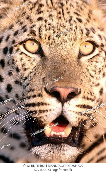 Leopard (Panthera pardus).Captive. Namib desert