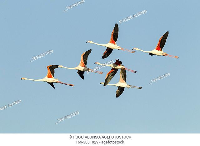 Group of greater flamingo in flight (Phoenicopterus roseus). Camargue, France