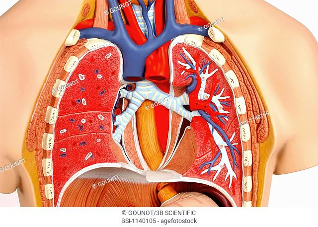 Model of the intern anatomy of the chest of an adult human body, face on. The heart withdrawal makes visible the right and left main lung bronchi in light blue
