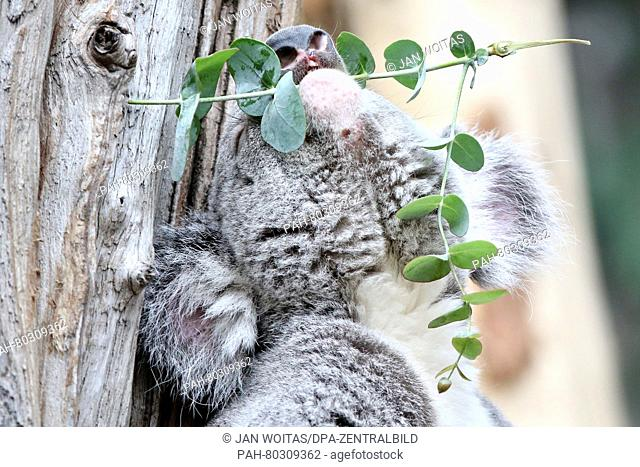 Male koala Oobi-Oobie sits with a eucalyptus branch in his mouth on a tree in the new Koala House at the zoo in Leipzig,Germany, 12 May 2016
