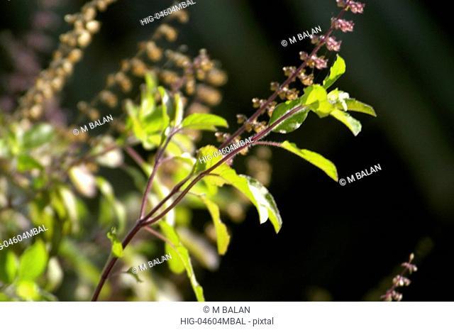 THULASI PLANT