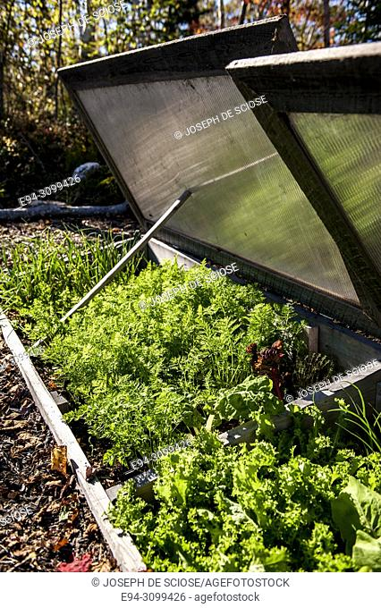 Parsley and salad greens growing in a cold frame in the autumn