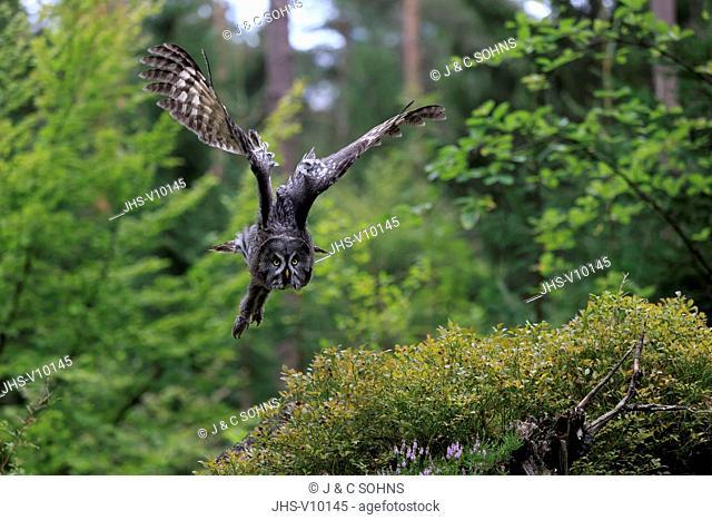 Great Grey Owl, (Strix nebulosa), adult flying, Pelm, Kasselburg, Eifel, Germany, Europe