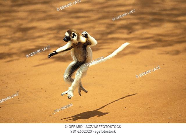 Verreaux's Sifaka, propithecus verreauxi, Adult Hopping across open Ground, Berent Reserve in Madagascar