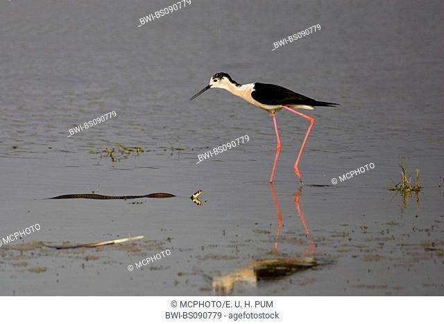 black-winged stilt (Himantopus himantopus), male comming across to a grass snake, Austria, Burgenland