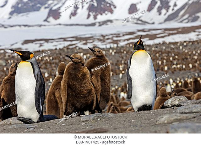 United Kingdom , South Georgia Islands , Saint Andrews plains , King Penguin  Aptenodytes patagonicus , yougs in brown and adults