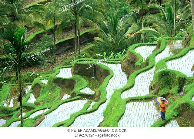 Rice terrace in Bali. Indonesia