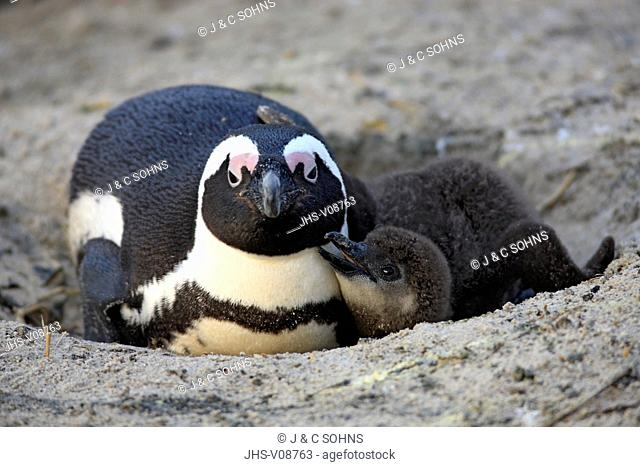 Jackass Penguin, African penguin, (Spheniscus demersus), adult with young at nest, Boulders Beach, Simonstown, Western Cape, South Africa, Africa