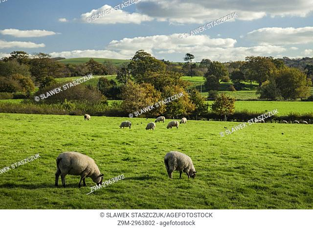 Sheep grazing in the countryside, West Sussex, England
