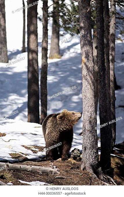 Brown bear in the snow, end of winter (Urrsus arctos)