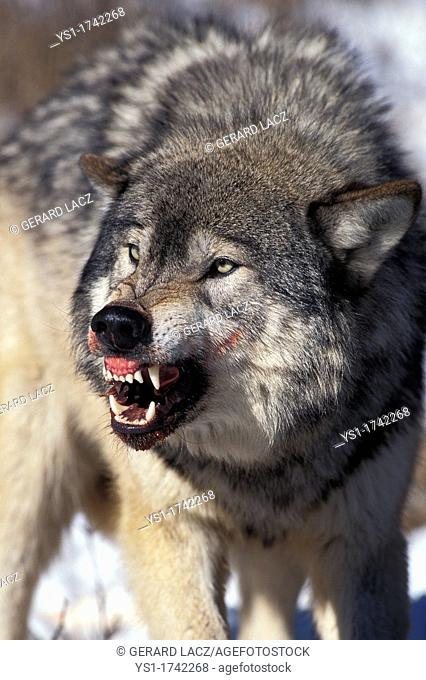 North American Grey Wolf, canis lupus occidentalis, Adult in Defensive Posture, Canada