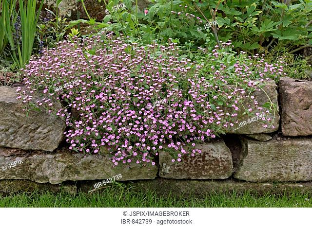 Red flowering Soapworts (Saponaria ocymoides), Germany, Europe