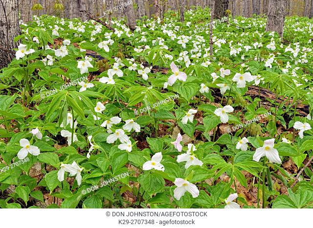 Flowering trilliums in a deciduous woodland, Mud Creek, Kagawong Lake, Manitoulin Island, Ontario, Canada