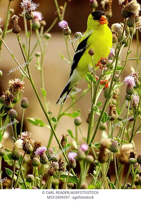 An American goldfinch, cardeulis tristis, among bull thistle, Pennsylvania, USA