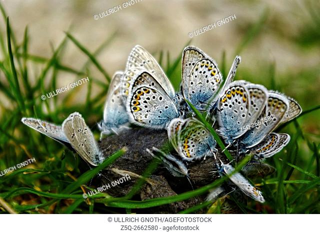 A group of Lycaenidae butterflies on a pile of sheep dung to eat