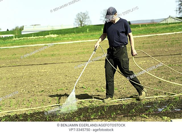 farmer watering young plants on field with hosepipe, in Bavaria, Germany