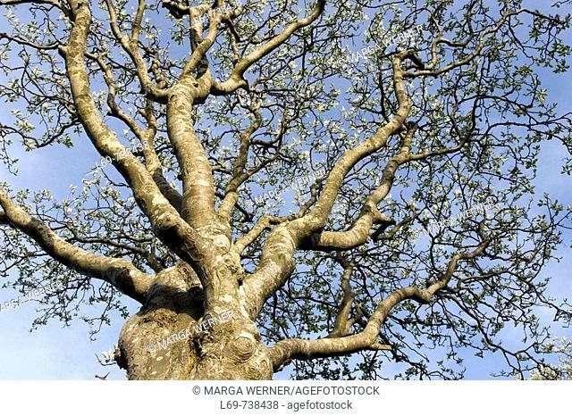 Treetop of Swedish Whitebeam Sorbus intermedia  Village Oevenum  Island Foehr  Schleswig-Holstein  Germany