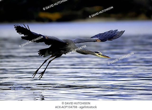 In flight Great Blue Heron, Sidney, BC, Canada