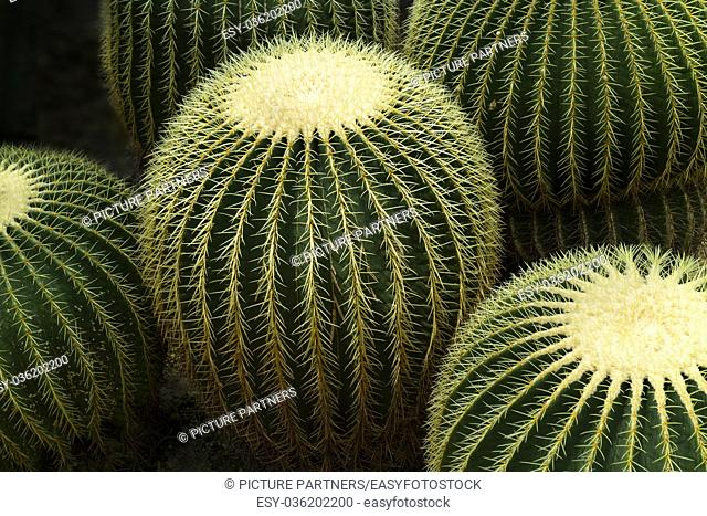 Round Golden barrel cactus
