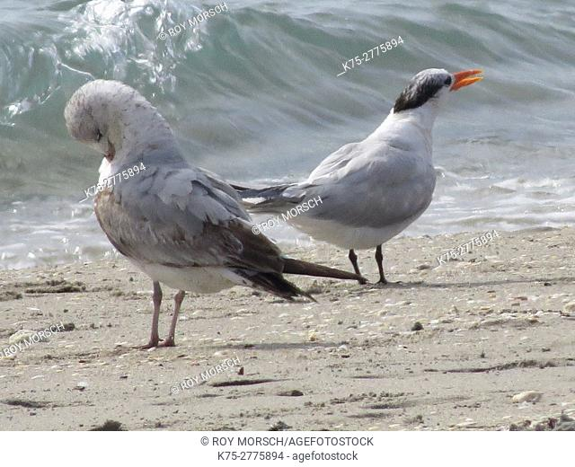 Immature ring-billed gull and royal tern