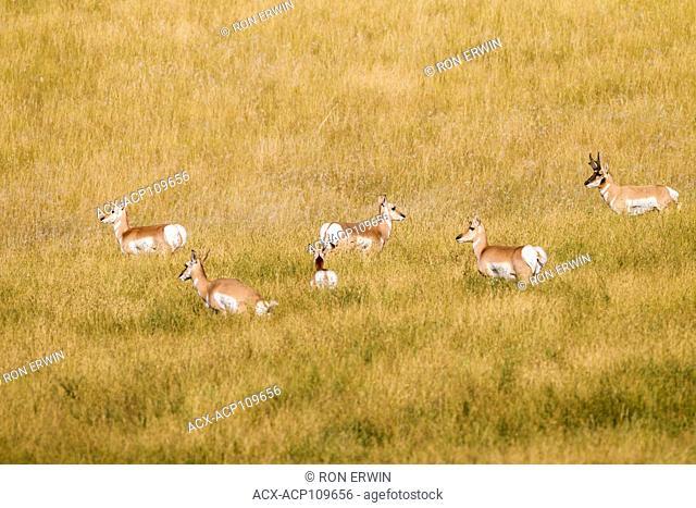 Herd of Pronghorn (Antilocapra americana) in southern Saskatchewan, Canada