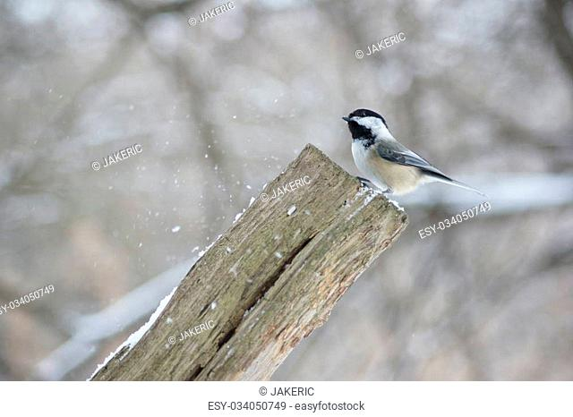 Black capped chickadee on a fence post in the snow