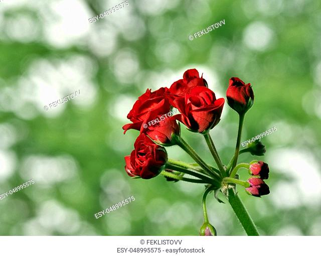 begin to bloom buds of red geranium on a soft green background, flowers resemble small roses, flowers on the windowsill